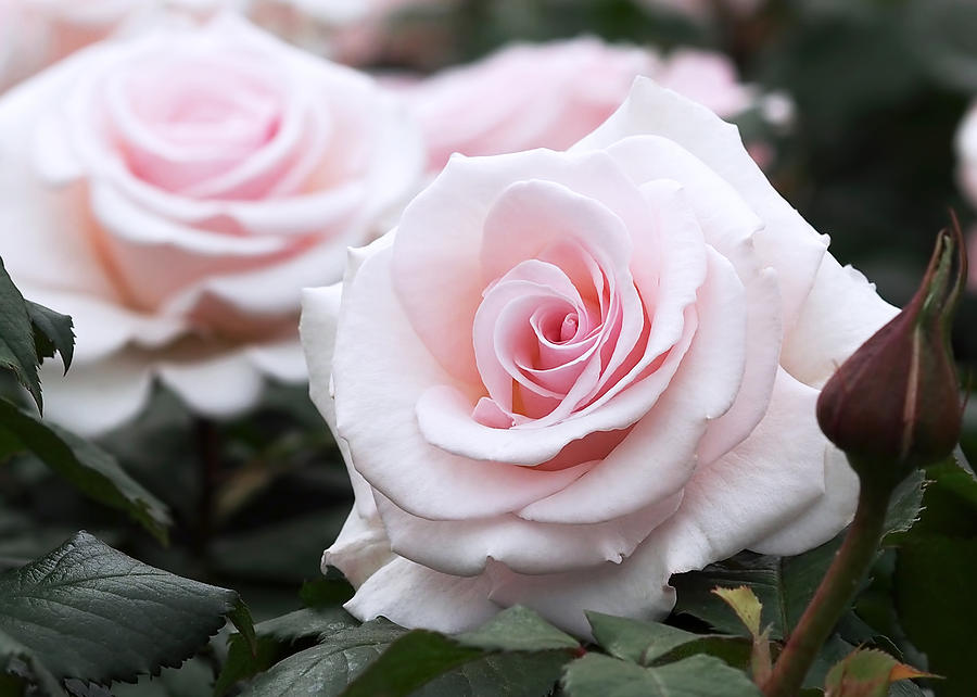 blush-pink-roses-rona-black